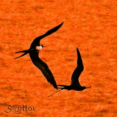 """Explore # 153, June 17, 2009    Love in the Air """"Frigate Birds""""    This couple of Frigate Birds played around for about 10 minutes. The flight pattern was something else!  Unfortunately it was late dusk and I had to use high ISO to catch the movement and  Live Your Dreams!"""