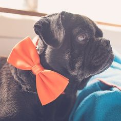 This week's pug photo challenge is all about the colour orange. Let's see your photos with orange in them tagged #tpd_orange #thepugdiary