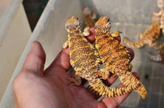 young uromastyx geyri