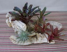 Driftwood Centerpiece with Tropical Bromeliads and Air Plant Driftwood Centerpiece, Driftwood Planters, Tropical Centerpieces, Table Centerpieces, Types Of Plants, Tropical Plants, Air Plants, A Table, Color Change
