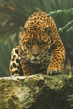 "motivationsforlife: "" Jaguar by Anne-Marie Kalus // Edited by MFL "" Crouching tiger hidden dragon Big Cats, Cats And Kittens, Cute Cats, Kitty Cats, Nature Animals, Animals And Pets, Cute Animals, Beautiful Cats, Animals Beautiful"