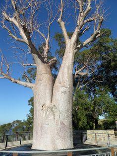 Amazing Boab tree. WA