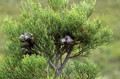 Cupressaceae Widdringtonia nodiflora