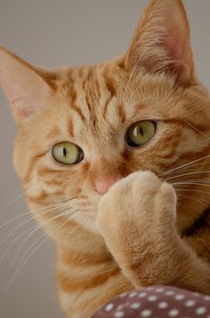 Orange tabby cat More