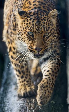 Older femal leopard walking down a steep log. // photo by Tambako in Hochdorf, Canton of Lucerne, Switzerland, 2013