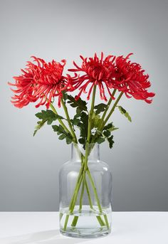 Chrysanthemums are native to Asia and the north East of Europe and the name stems from the Greek chrysos for gold and anthemon for flower. The Emperor of Japan loved them so much that they became his official seal and they are still popular today both for their looks and for their taste in salads. Our real touch chrysanthemums add a touch of colour and texture to any display and lend themselves well to larger floral arrangements.