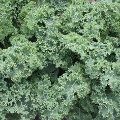 Darkibor Hybrid Kale
