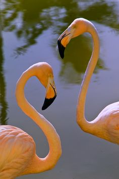 A pair of Flamingos basking in the Caribbean sun - Artist: Scott Mahrer