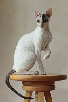 Intelligence, jumping skills, and lengthy toes are what makes Cornish Rex cat amazing. This intelligent breed of cat has the skills to open doors, hang on different objects and can even rummage on your closets. Pretty Cats, Beautiful Cats, Animals Beautiful, Cute Animals, Curly Haired Cat, Curly Cat, I Love Cats, Crazy Cats, Cool Cats