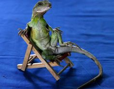 A water dragon poses in a chair while being trained by her owner, Santisak Dulapitak Chinese Water Dragon, Bearded Dragon Funny, Funny Animals, Cute Animals, 11. September, Unusual Animals, Unusual Pets, Weird News, Pictures Of The Week