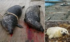 Hundreds of seals are secretly being shot along British coasts