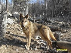 Animal Heroes: Wolf-Dog Hybrid Saves Her Owners' Lives  ... from PetsLady.com ... The FUN site for Animal Lovers