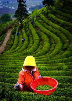 Green tea harvest, Jaewoon, South Korea