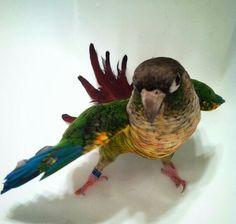 Beautiful Green Cheek Conure.