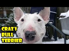 Crazy dog bull terrier, bullterrier happy dog, energetic, super games, funny dogs - YouTube