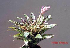 Tillandsia biflora