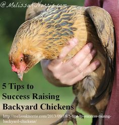5 Tips to Success Raising Backyard Chickens http://melissaknorris.com/2013/09/18/5-tips-to-success-raising-backyard-chickens/ Having a supply of fresh eggs and meat is great for preparedness and the pocket book when cutting back at the grocery store.