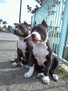 Bluenose pitbulls