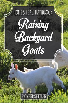 Check out Homesteading Guide To Raising Goats For Milk, Meat, and Profit | Homestead Handbook at http://pioneersettler.com/raising-goats-for-milk-meat-profit/