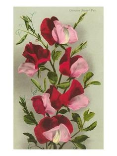 Art Print: Crimson Sweet Peas Art Print : 24x18in Botanical Flowers, Botanical Art, Sweat Pea Tattoo, Sweet Pea Flowers, Poster Prints, Art Prints, Cool Posters, Watercolor Flowers, Watercolour
