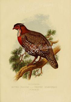 Hastings Tragopan, ceriornis melanocephalus      ...