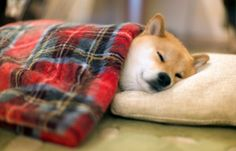 nighty night little shibe