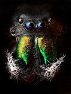 Credit: Animal Earth/Thames & Hudson Arthropods: a jumping spider, Phidippus audax. Arthropods, which include inse. Photo Macro, Cool Bugs, Itsy Bitsy Spider, Jumping Spider, Fotografia Macro, The Daily Beast, Beautiful Bugs, Dead Gorgeous, Bugs And Insects