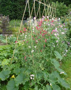 Pea Trellis, Flower Trellis, Bamboo Trellis, Garden Trellis, Sweet Pea Flowers, Pretty Flowers, Veg Garden, Edible Garden, Permaculture