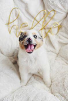 Khaleesi, the blue merle australian shepherd puppy!