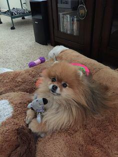 Ginger Pomeranian