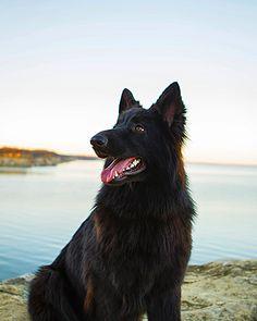 Black GSD (German Shepherd Dog) @paisley_pup_gsd on Instagram