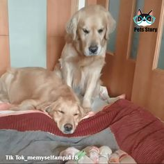 Cute Funny Dogs, Cute Funny Animals, Funny Cats, Cute Dogs And Puppies, Baby Dogs, Doggies, Newborn Puppies, Cute Animal Videos, Retriever Puppy
