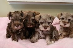 miniature schnauzers chocolate - Google Search Link: https://www.sunfrog.com/search/?64708&search=schnauzer&cID=62&schTrmFilter=sales
