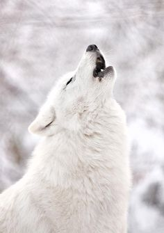 white wolf and white snow  Representation of when I reach the end.