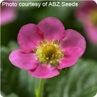 Berri Basket Hot Pink Strawberry. A Ball Seed Exclusive selection. Available as Ball Premier Line® pelleted seed. Well-suited to baskets, the everbearing, compact and bushy plants bear large, deep red, full-flavored berries until first frost. Hardy to USDA Zone 5. 75-85 days to maturity.