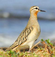Foto batuíra-de-papo-ferrugíneo (Oreopholus ruficollis) por Carlos E. Blanco | Wiki Aves - A Enciclopédia das Aves do Brasil