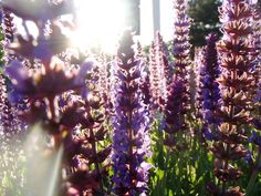 Lavender under Sun beams.