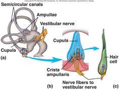 Vestibular System, Visual Cortex, Basal Cell, Nerve Fiber, Middle Ear, The Retina, Medical Anatomy, Human Anatomy And Physiology, Health