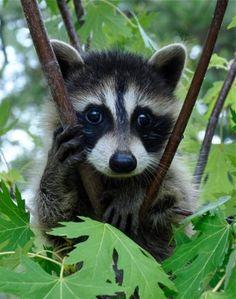 raccoon....good photo for kids to draw
