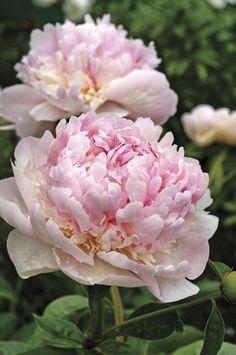 Image of Angel Cheeks Peony at Veseys Pretty Flowers, White Flowers, Paeonia Lactiflora, Flower Art Images, Peonies Garden, Spring Flowers, Flower Power, Perennials, Planting Flowers
