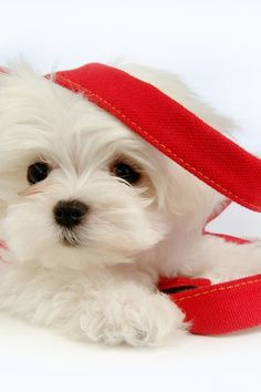 So cute Maltese Spaniel Terrier Dog Photography Puppy Hounds Chien Puppies Pup