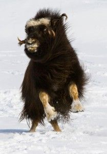 Musk Ox playing in the snow (als rijdier in fantasysetting) Nature Animals, Baby Animals, Cute Animals, Large Animals, Wild Creatures, All Gods Creatures, Beautiful Creatures, Animals Beautiful, Musk Ox