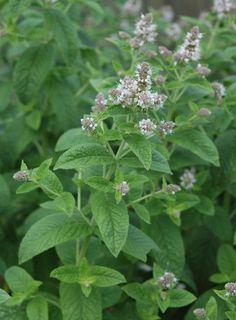 Munt (Mentha); mugwerend en nectarplant voor vlinders (en heerlijk in eten of thee)