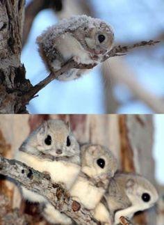 Japanese Dwarf Flying Squirrels :> - Imgur