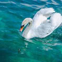 Swan lake #Luzern #switzerland #swan #lake #canon #travelandleisure #passionpassport Swan Lake, Travel And Leisure, Switzerland, Canon, Birds, Instagram Posts, Swans, Bird, Big Guns