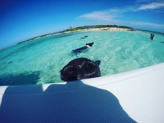 Hi, human! Jump in, the water's warm! 🐽 Photo by: theswimmingpigs Swimming Pigs, Bahamas Vacation, Warm, Island, Instagram Posts, Outdoor, Outdoors, Islands, Outdoor Games