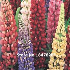 New Rare 100 LUPINE RUSSELL MIXED Lupinus Polyphyllus Russell Bulk Flower Seeds Free Shipping