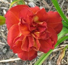 MANDARIN CORSAGE daylily Petal Pushers, Day Lilies, Corsage, Bloom, Lily, Seasons, Green, Plants, Seasons Of The Year