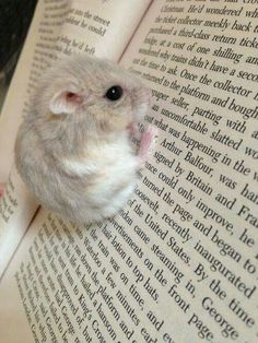Adorable little hamster hanging of a book.I find these hamsters so cute Cute Little Animals, Cute Funny Animals, Cute Hamsters, Chinchillas, Robo Dwarf Hamsters, Cute Animal Pictures, Animal Pics, Funny Pictures, Animals Photos