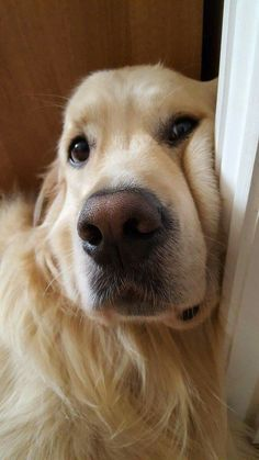 Close-up of gorgeous Golden Retriever. Maishttp://pinterest.com/pin/97179304439777789/